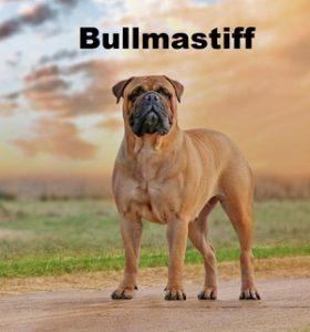 bullmastiff3