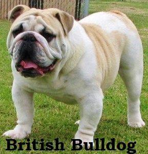 fawnbulldog